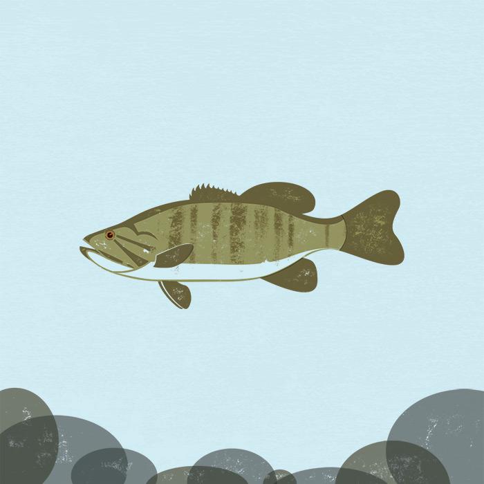 Smallmouth Bass Illustration